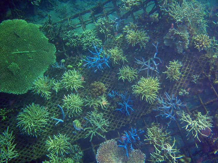 See the metal structure underneath the healthy growing corals?